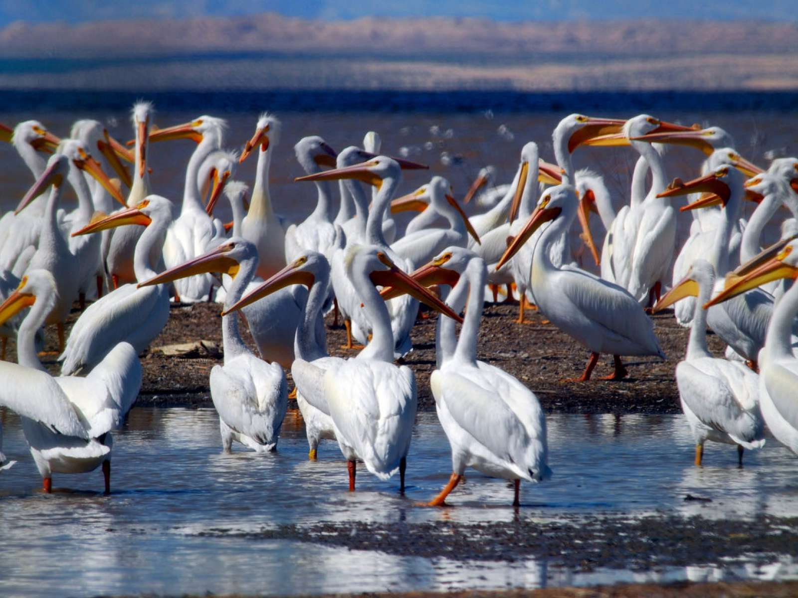 Salton Sea, wintering area for white pelicans.