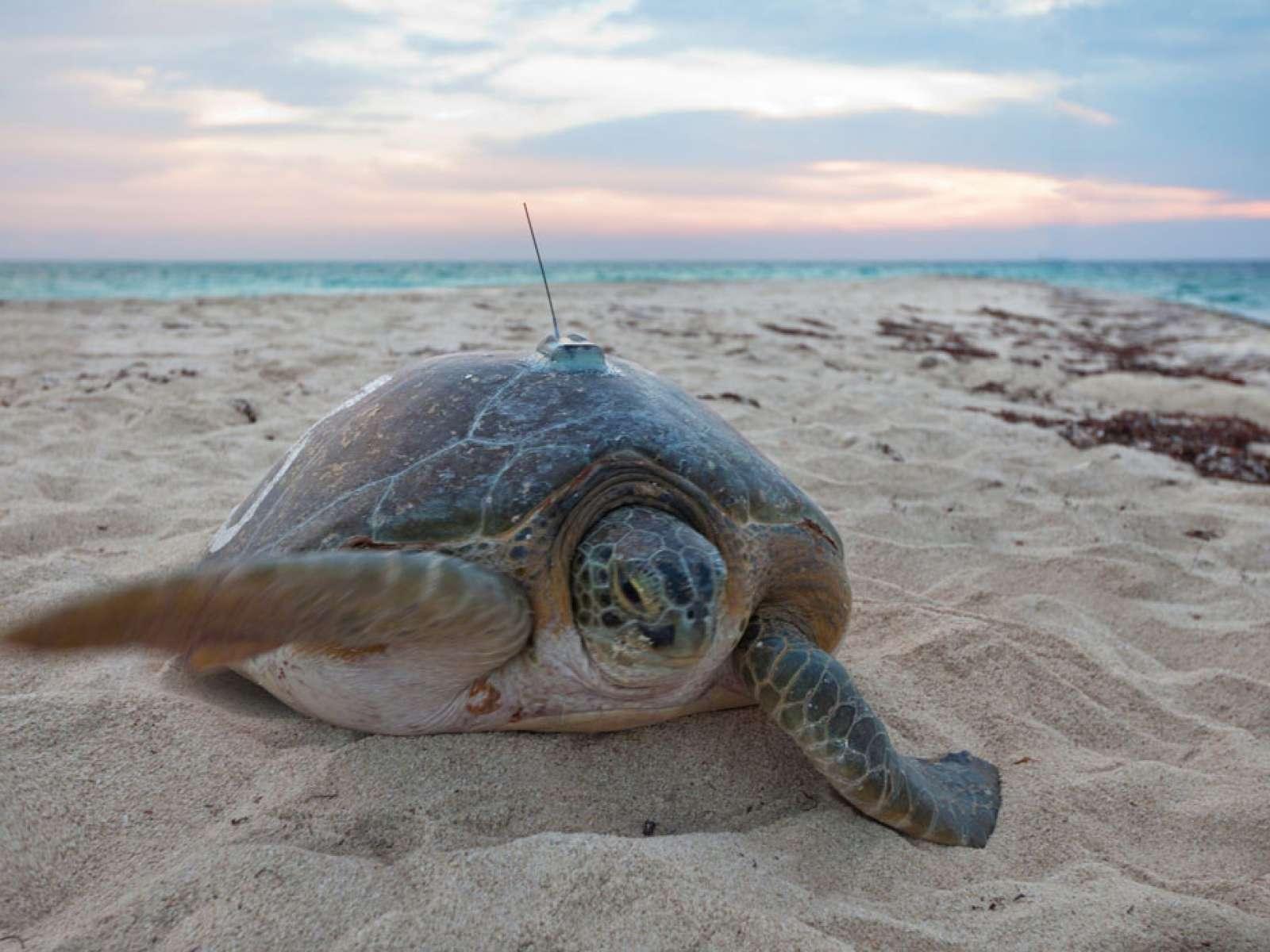Tracking green sea turtles, Dry Tortugas National Park, Florida Keys