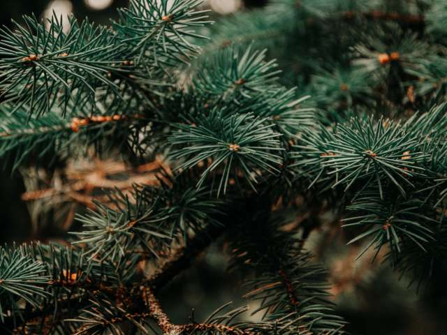 A close-up view of a fresh, green pine branch. Pexels photo