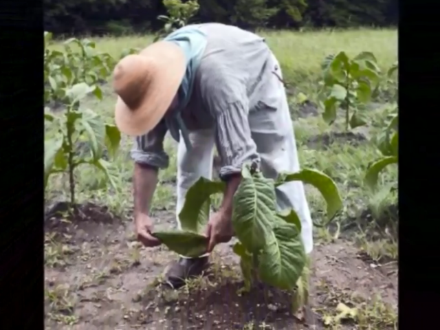 A man in a loose-fitting shirt and khaki pants and a straw hat bends down to examine a tobacco leaf.