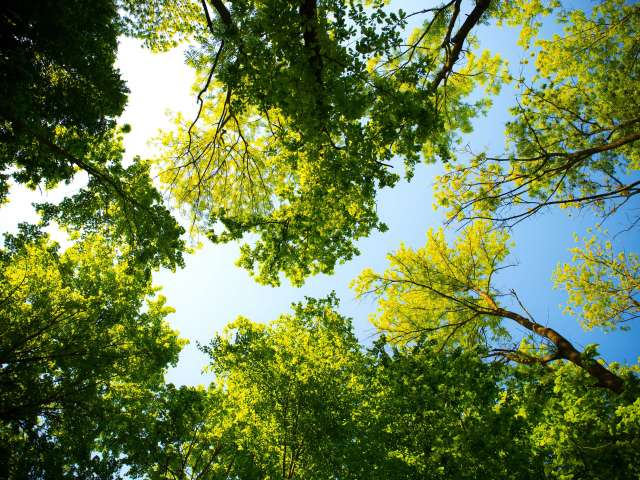 A verdant group of trees as seen from the ground, looking up.