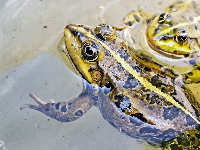 Two frogs pop out of a clear pond with their eyes above the water.