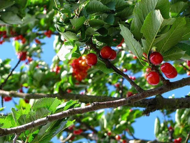 A branch on a cherry tree with red, ripe cherries.