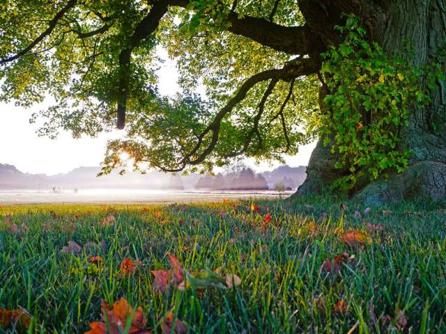 An enormous old tree in the foreground of a beautiful field on a summer morning.