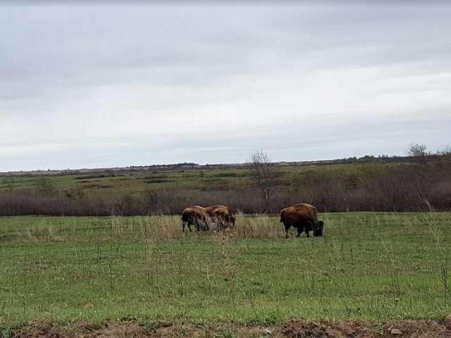 Bison roam in a field at a state park in Missouri.
