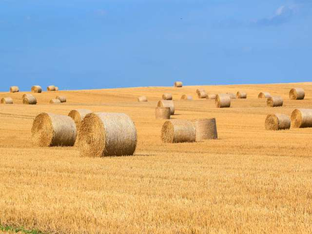 A yellow field, scattered with large round hay bales.