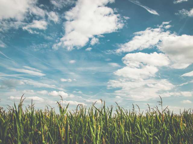 Close up view of cornfields with a cloudy blue sky above.