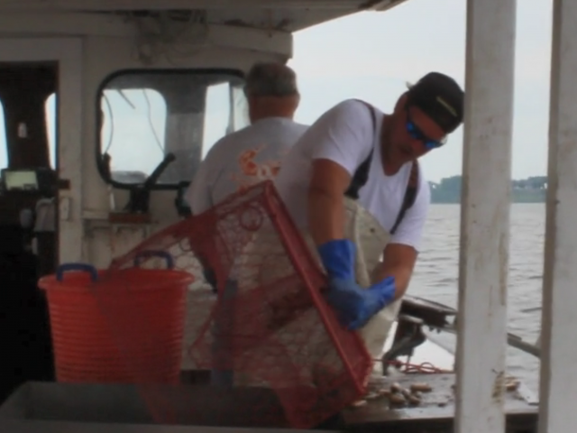 A man with a hat, glasses, and blue gloves takes crabs out of a wire pot.