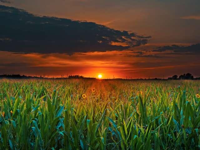 A coloful orange sunset over a corn field.