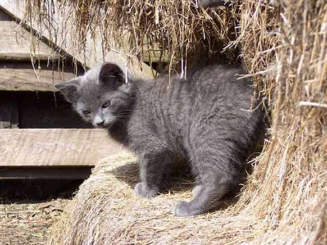 A small gray cat stands on a hay bale by a barn.