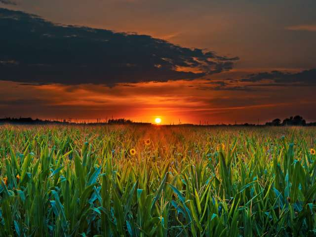 Sunrise over a beautiful, lush cornfield.
