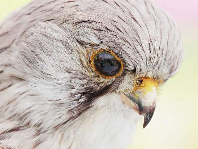 A close-up view of a stuffed falcon's face and eye.
