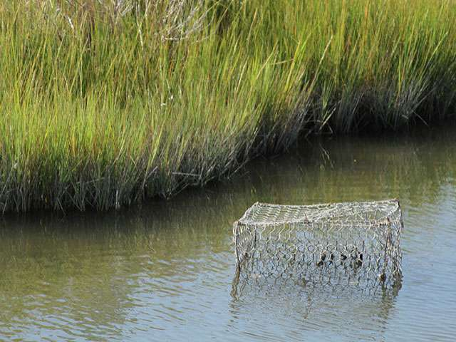 A crab pot sits in a marshy wetland in the Chesapeake Bay region.