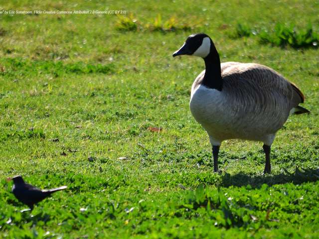 """Goose"" photo by Eric Sonstroem. Flickr Creative Commons. Attribution 2.0 Generic (CC BY 2.0)."