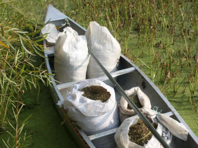 A boat in the marsh, filled with sacks of wild rice.