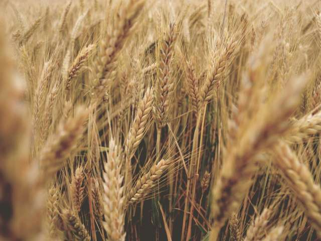 A detail of wheat in a dense field. Pexels stock photo