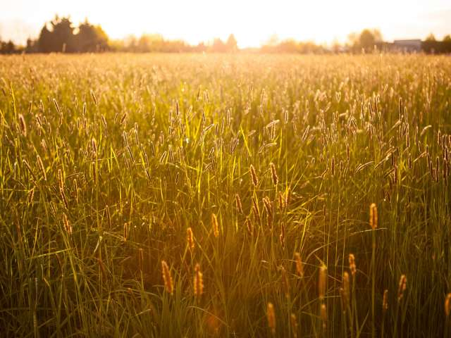 The sun shines on a brilliant field with tall stacks of wheat. Pexels stock photo