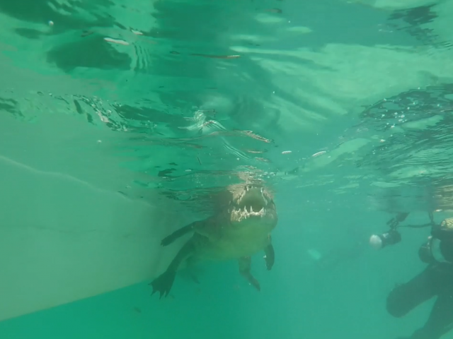 Underwater filming of an alligator